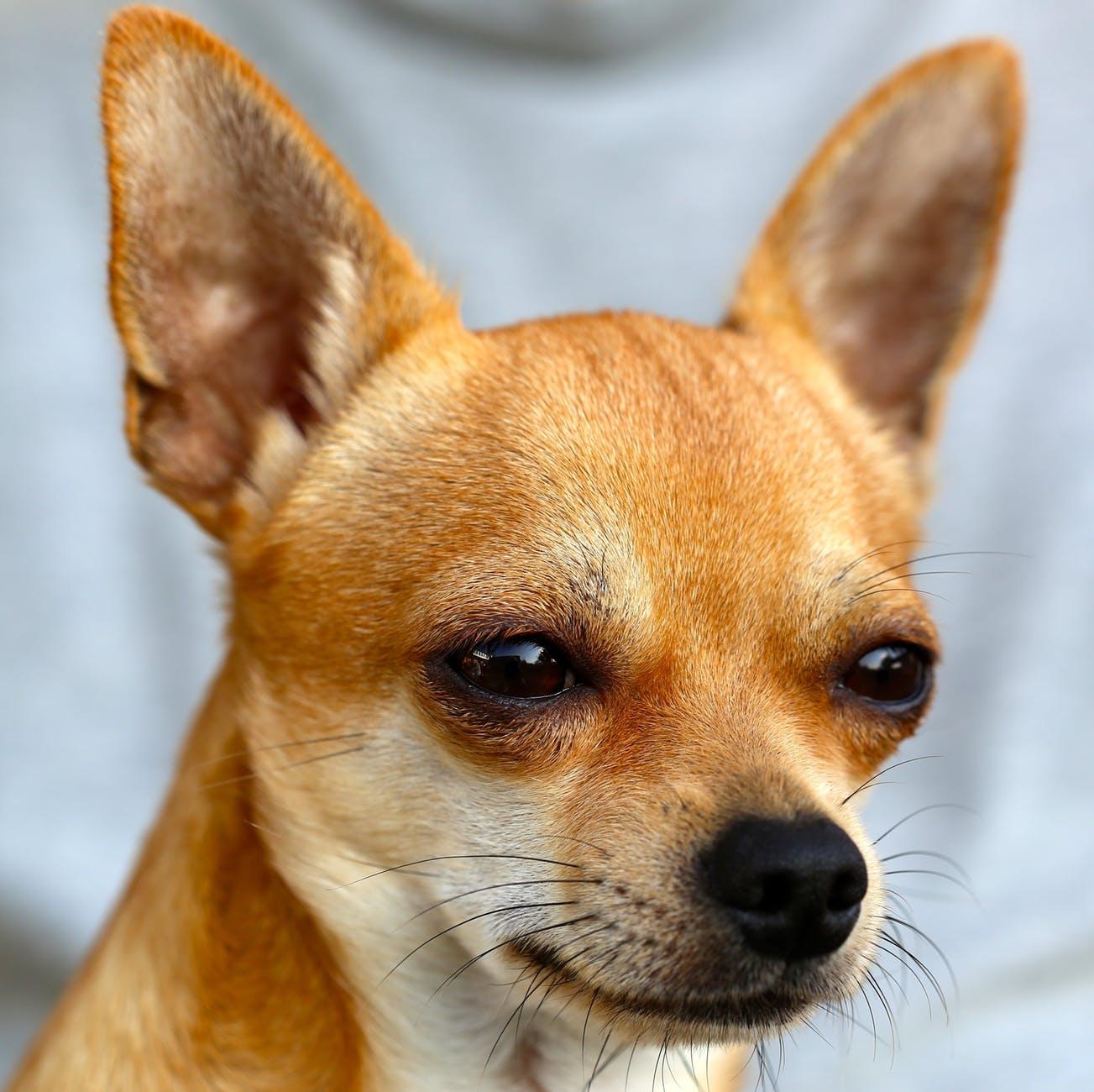dog chihuahua sobel